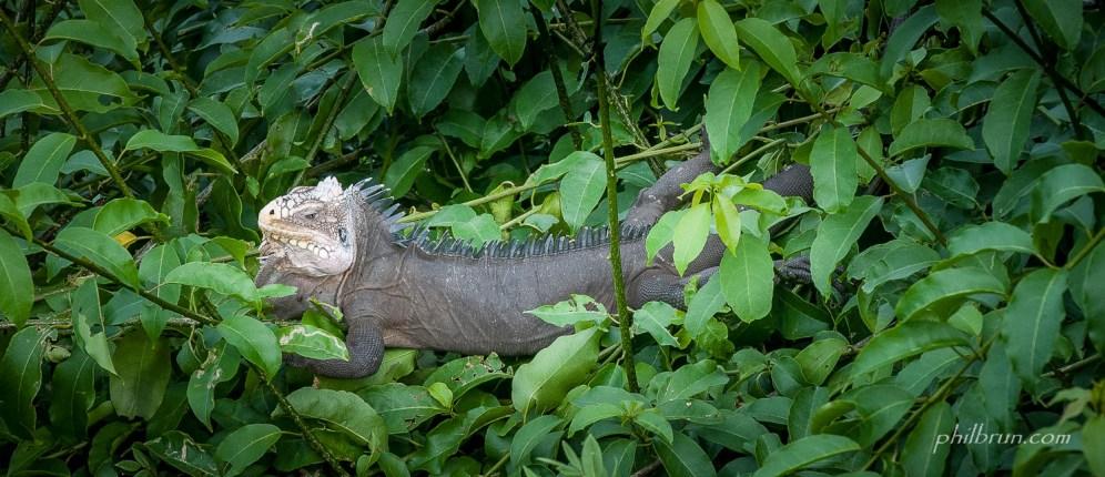 Iguane dans les branche sur l'île Dominique