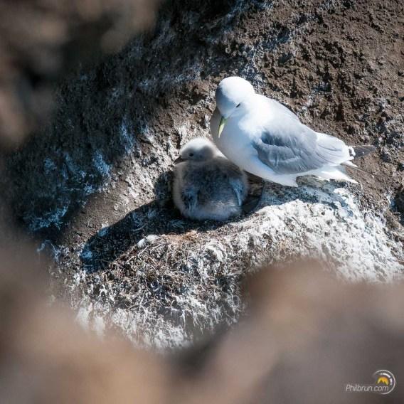 Les nids sont très nombreux à Krisuvikurberg