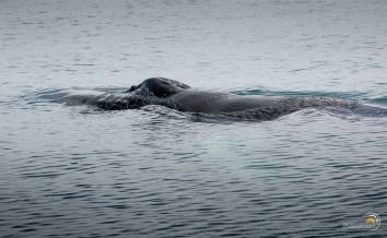 La baleine reprend son souffle. La reverra-t-on ?