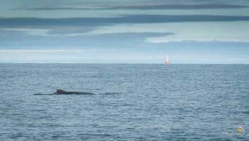 La baleine nargue le bateau au loin....