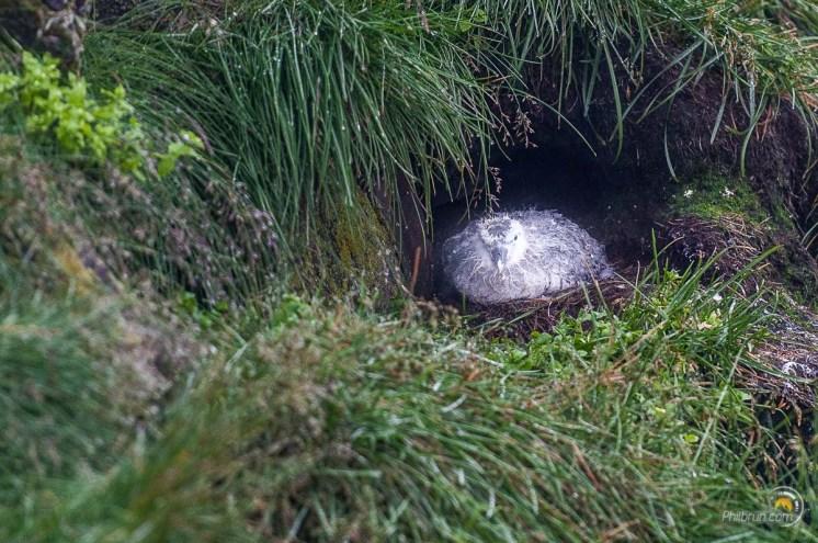 Un jeune macareux au nid
