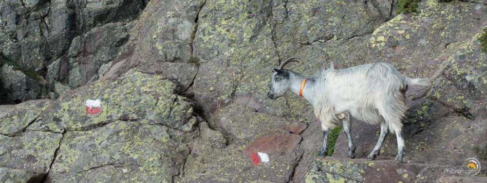 Une chèvre sur le GR20