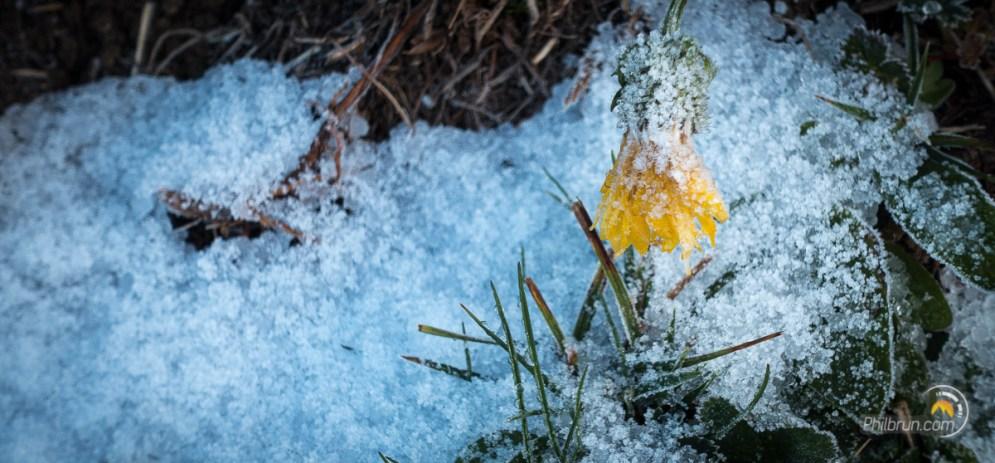 Fleur de montagne sous la neige