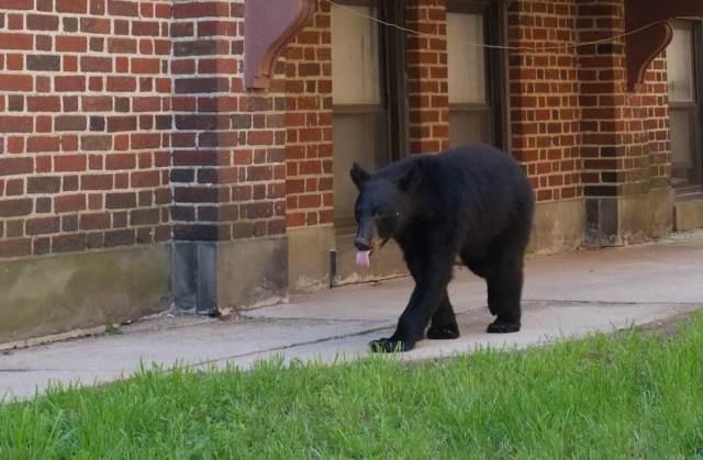 Bear Montclair 2_resize