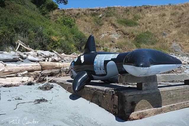 orca-san-juan-islands