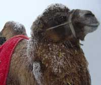 Camel in the snow