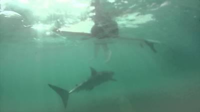 shark swimming beneath surfer