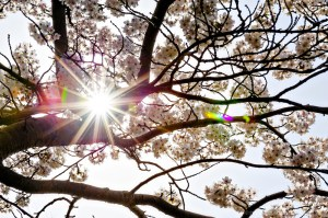 Sunlngt Through the Cherry Blossoms