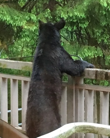 Small black bear wishes he could reach the bird feeders
