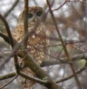 Barred Owl near woodland pond