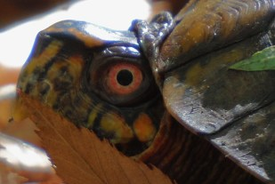 box turtle Oct 2015