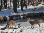 deer at house pond feeder panorama