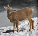deer near house pond