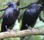 EM 2 ravens side by side