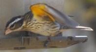 EM female Grosbeak showing under wing