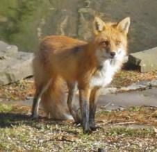 fox near house pond