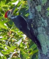 Pileated 2 by Herman