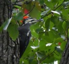 Pileated 5 by Herman
