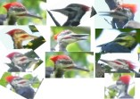 Pileated heads Sept 2016
