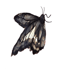 Philippa Jones, Still 1 of 20 animated moths from 'Drawn' exhibited in 'The New Romantics' 2012