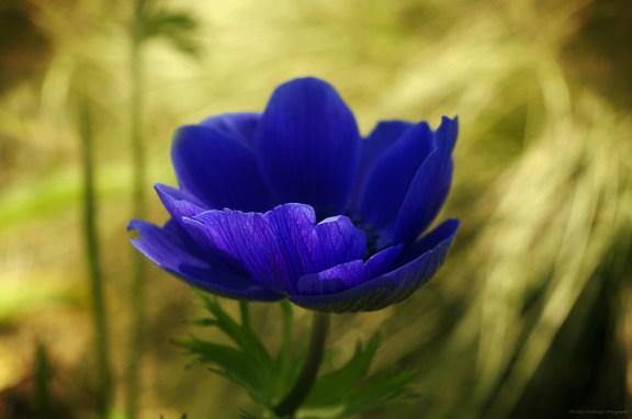 Fleur bleue sur son lit doré