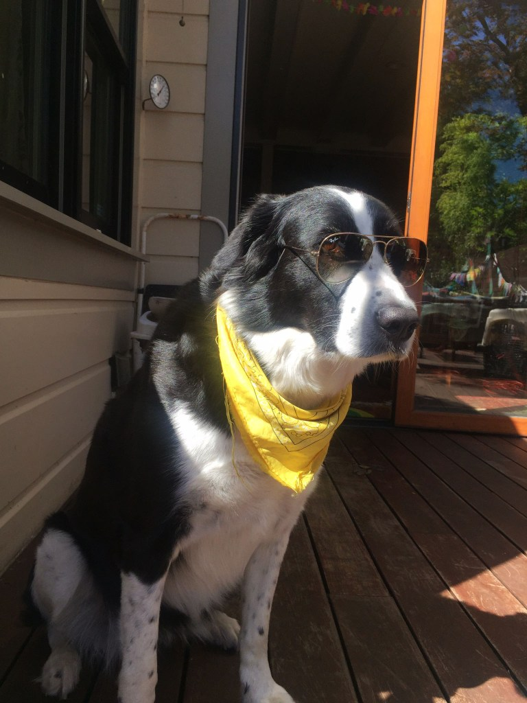 Shanti — a Border Collie and Pyrenees mix —attempts to emulate human fashion.