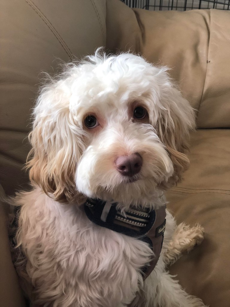 Nugget, is a 15-pound 11-month-old Cocker Spaniel–Poodle mix, who enjoys spending time on the couch with owner Rachna Lewis '19.