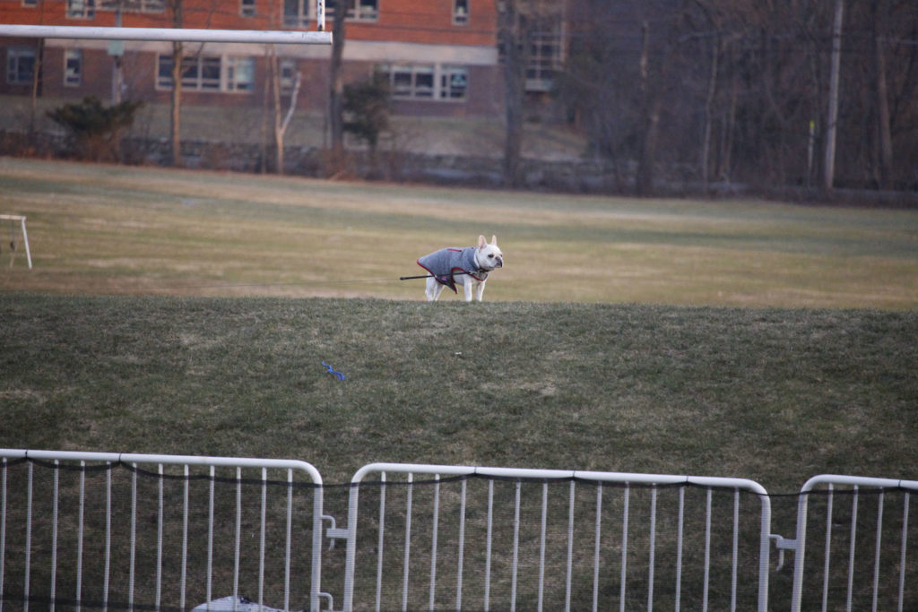 A French Terrier distances itself from its owner to watch an ongoing lacrosse game.