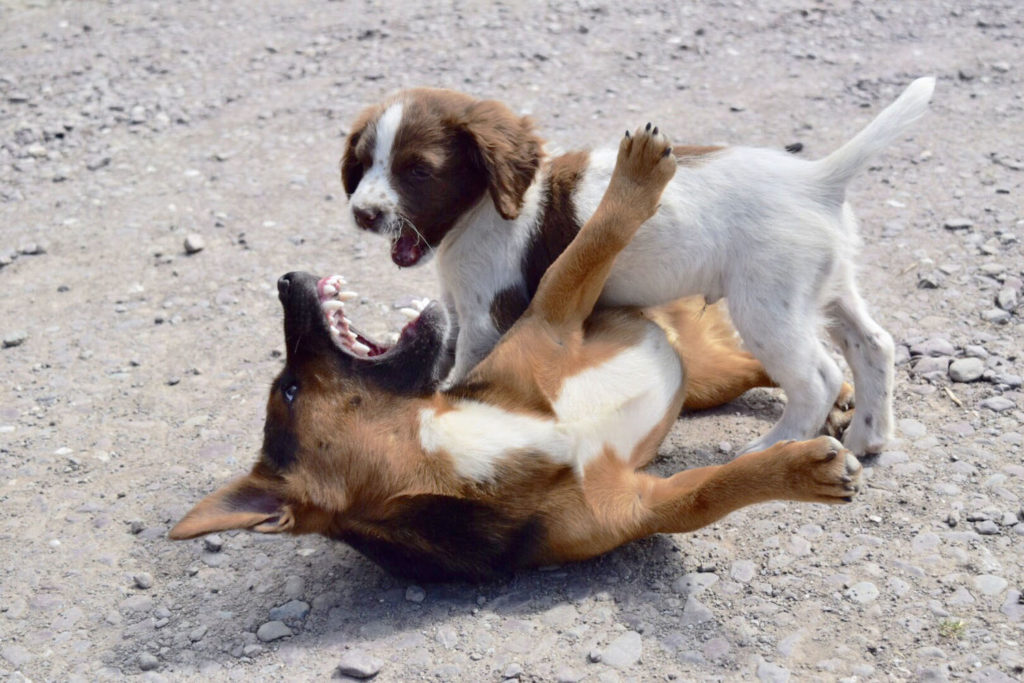 Two small dogs reveal their sharp teeth during a playful fight.