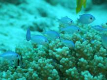 Blue green damselfishes (Chromis viridis). These guys are fun to photograph, when you approach them, they will hide in the coral, but if you wait and keep very still, it won't take long for them to re-emerge.