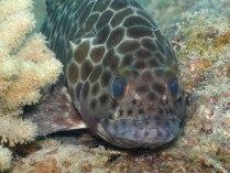 Long Fin Rock Cod