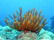 Feather Star; This Feather Star had two prawns and a small fish in residence.