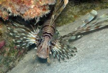Common Lionfish; It's actually a spectacular looking fish that has 13 venemous dorsal fin spines.