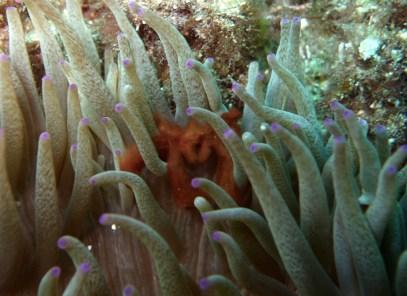 Orangutan Crab, Julian Rocks, NSW