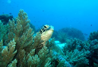 Green turtle, Balicasag island, Philippines