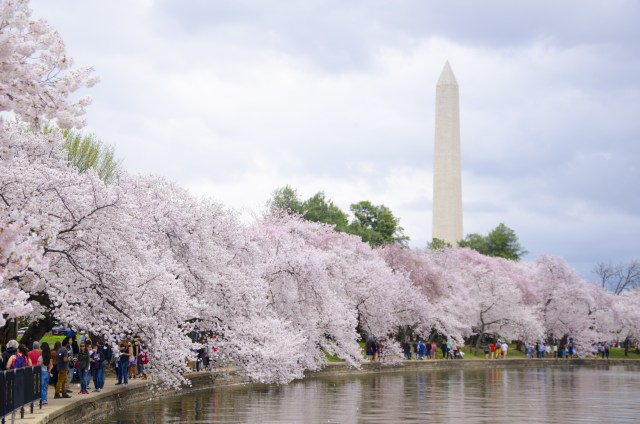 The cherry trees are in peak bloom around the Tidal Basin on Friday, March 25, 2016 (c) Phillip Waller