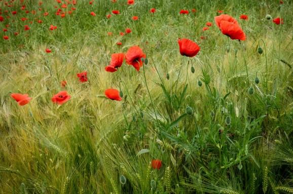 Poppies I