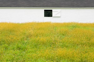 white stable behind yellow field