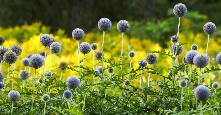 eryngium thistles, purple on yellow