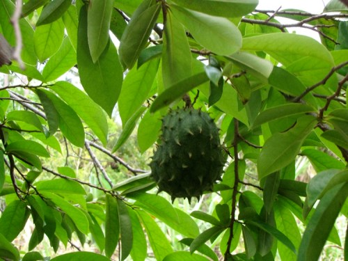 Soursop Fruit Benefits – How To Grow Soursop Trees  |Guyabano Tree