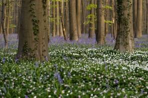 bosanemonen en wilde hyacinten
