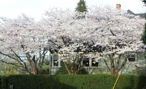 Kitsilano-cherry-blossoms-e
