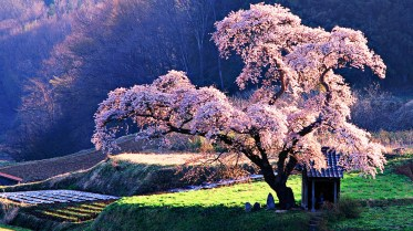 cherry-fruit-tree-in-bloom-house-under-cherry-blossom-wallpaper