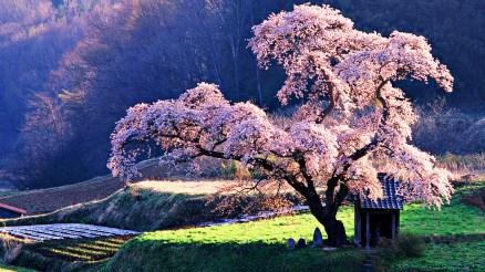 cherry-fruit-tree-in-bloom-house-under-cherry-blossom-wallpaper