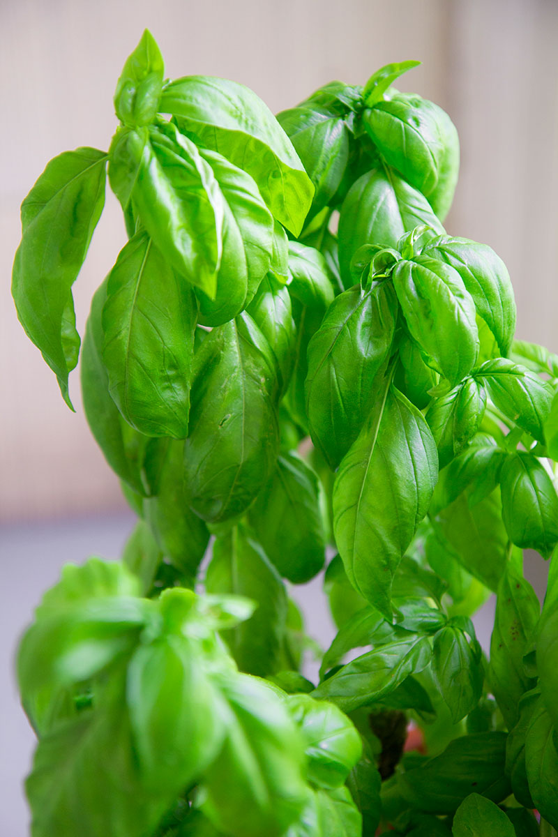 BASIL PESTO recipe and history