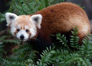 Red Panda- Rusty