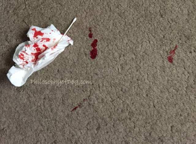 Bleeding Hemangiosarcoma