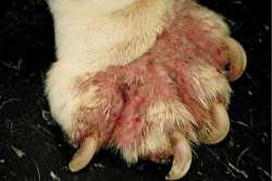 Mange Dog Paws