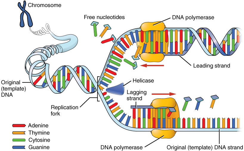 Image result for picture of dna replication