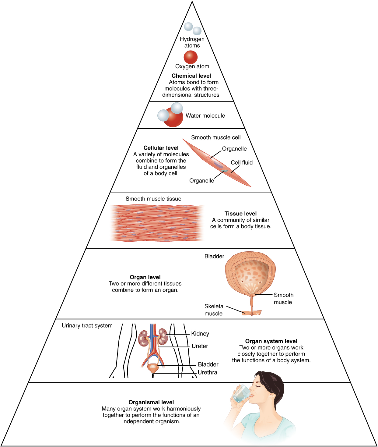 Structural Organization Of The Human Body Anatomy And